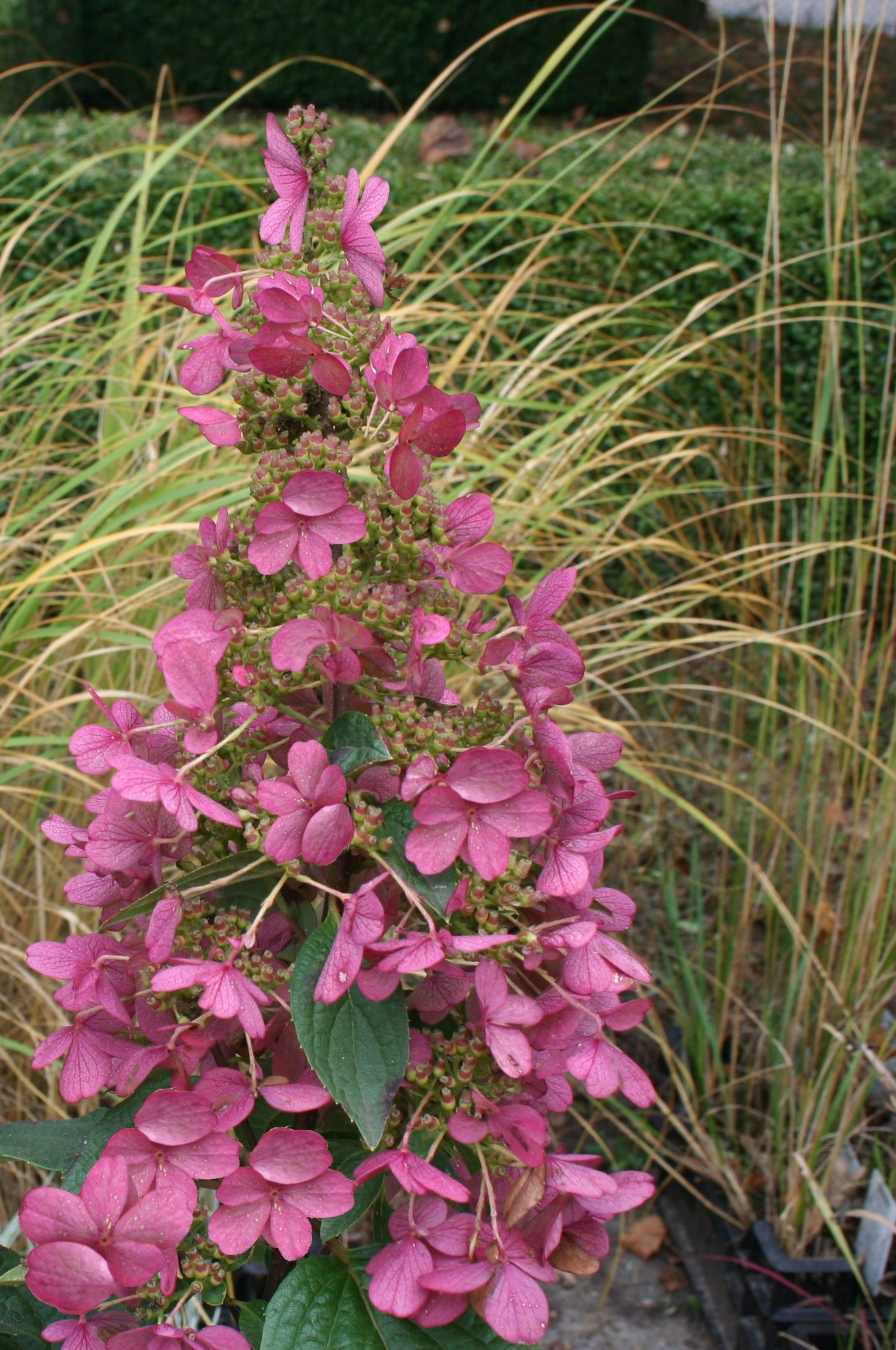 Hydrangea paniculata \'Candlelight\' | Jos Kolster - Boomkwekerij