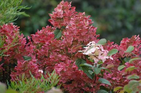 Hydrangea Paniculata \'Early Sensation\' | Jos Kolster - Dé hydrangea-kweker