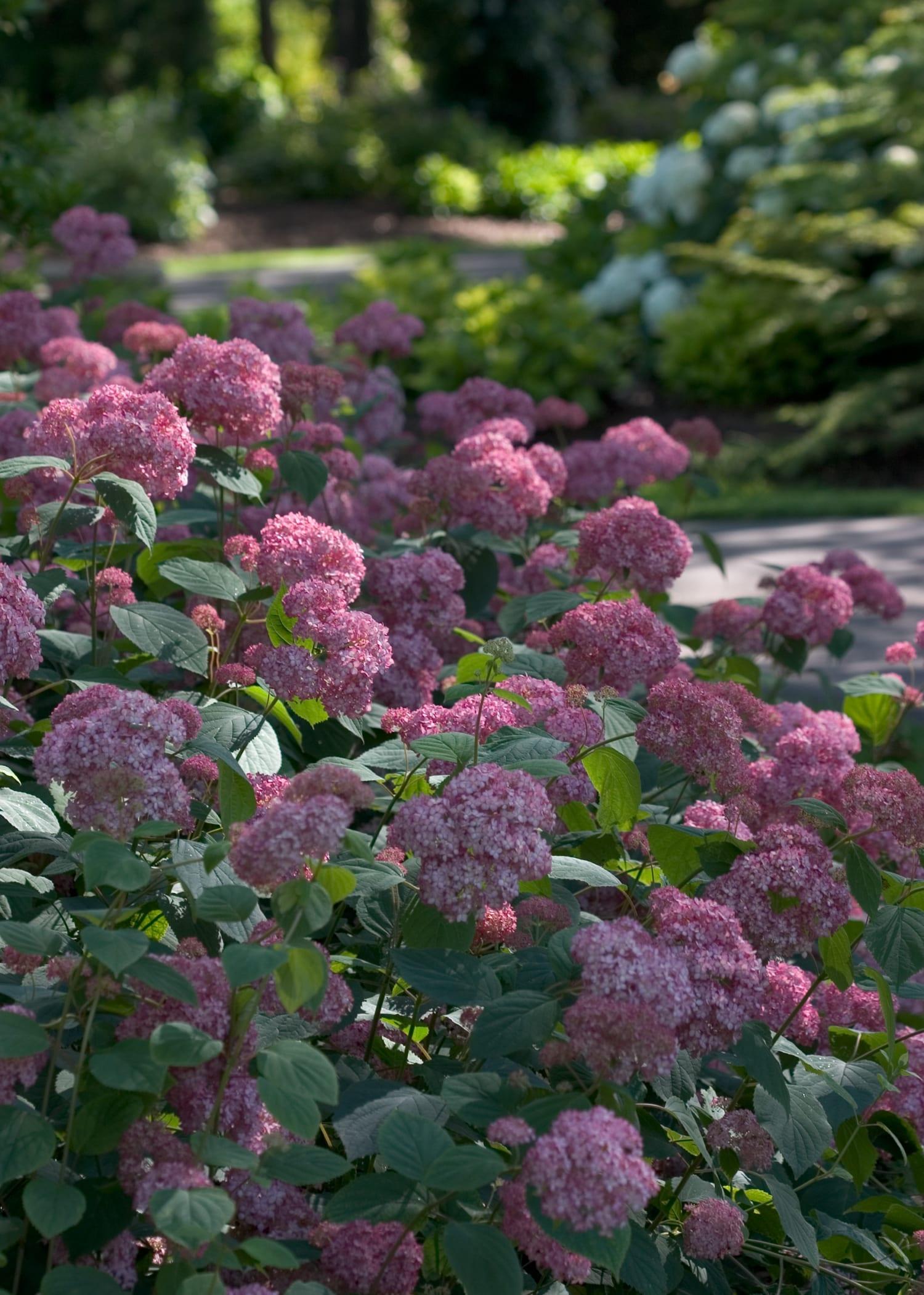 Hydrangea arborescent \'Invincibelle\' | Jos Kolster - Boomkwekerij