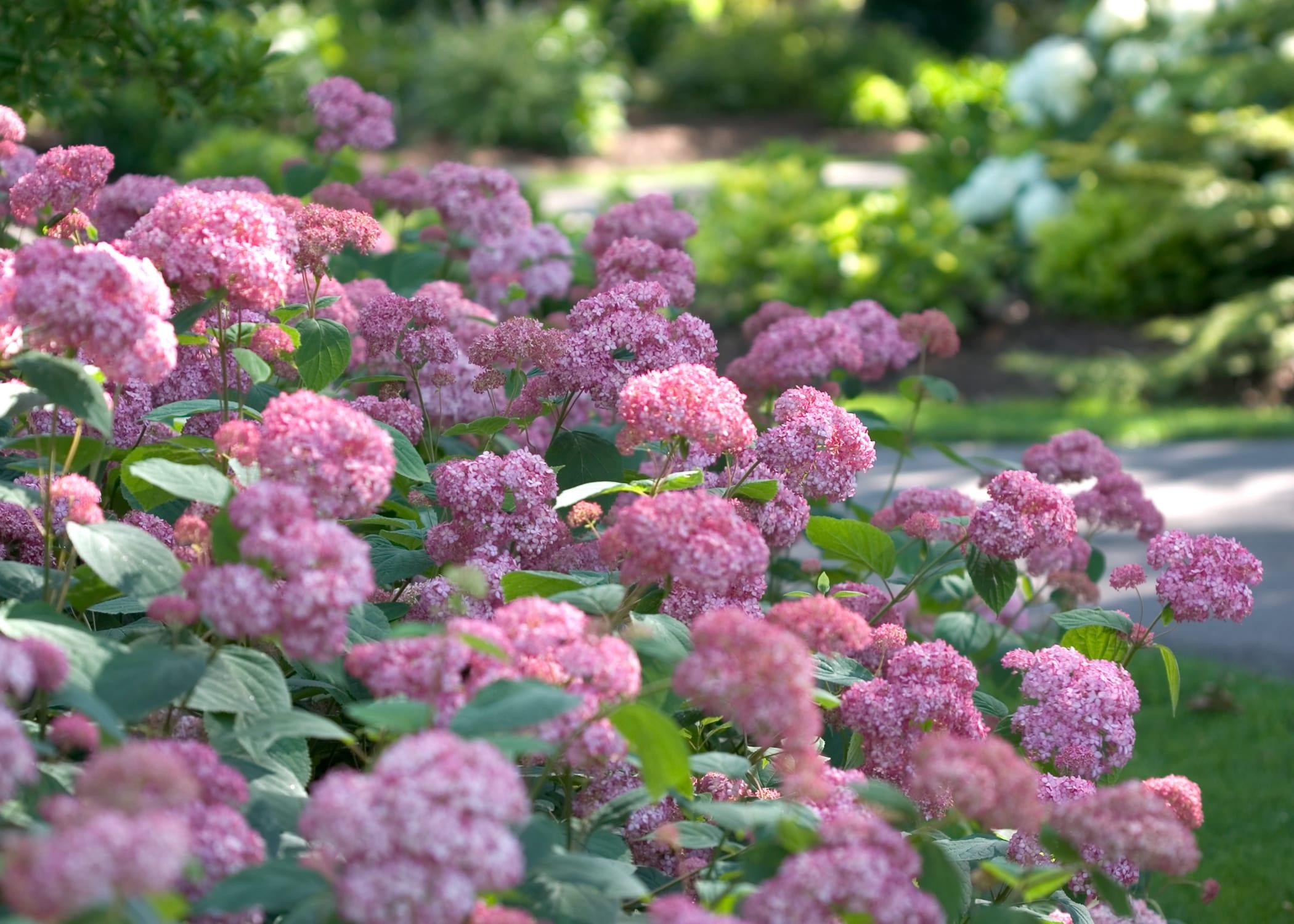 Hydrangea Arborescens \'Pink Annabelle\' | Jos Kolster - Boomkwekerij