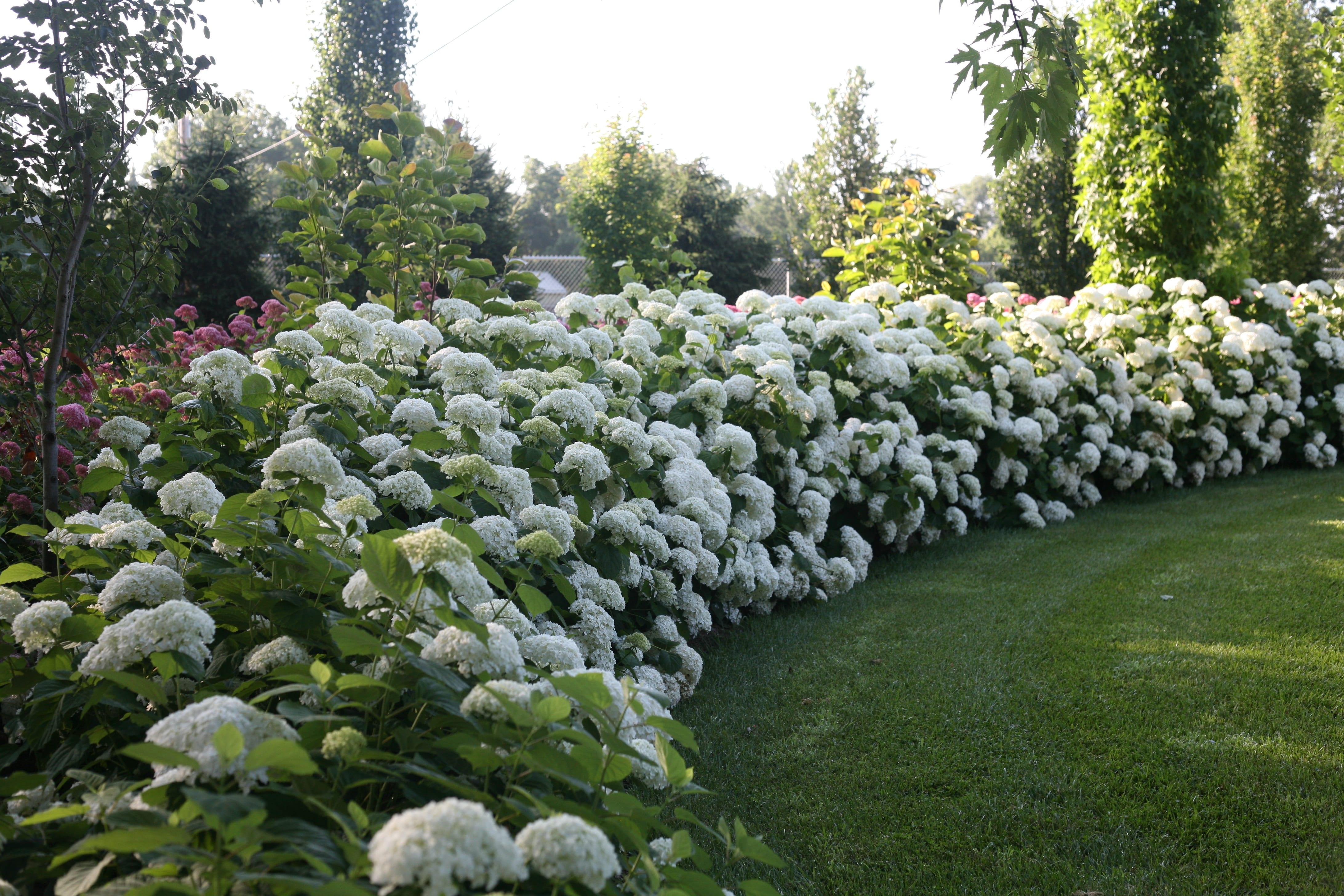 Hydrangea arborescent \'Strong Annabelle\' | Jos Kolster - Boomkwekerij