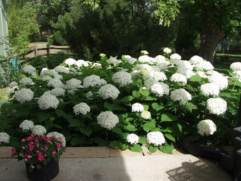 Hydrangea Paniculata 'Magical Mont Blanc' | Jos Kolster - Boomkwekerij