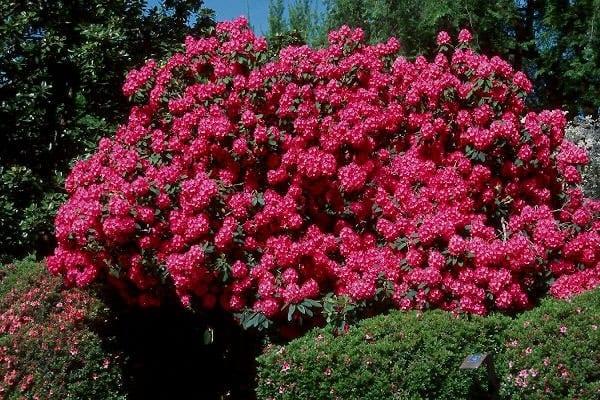 Rhododendron Homebush | Jos Kolster - Boomkwekerij