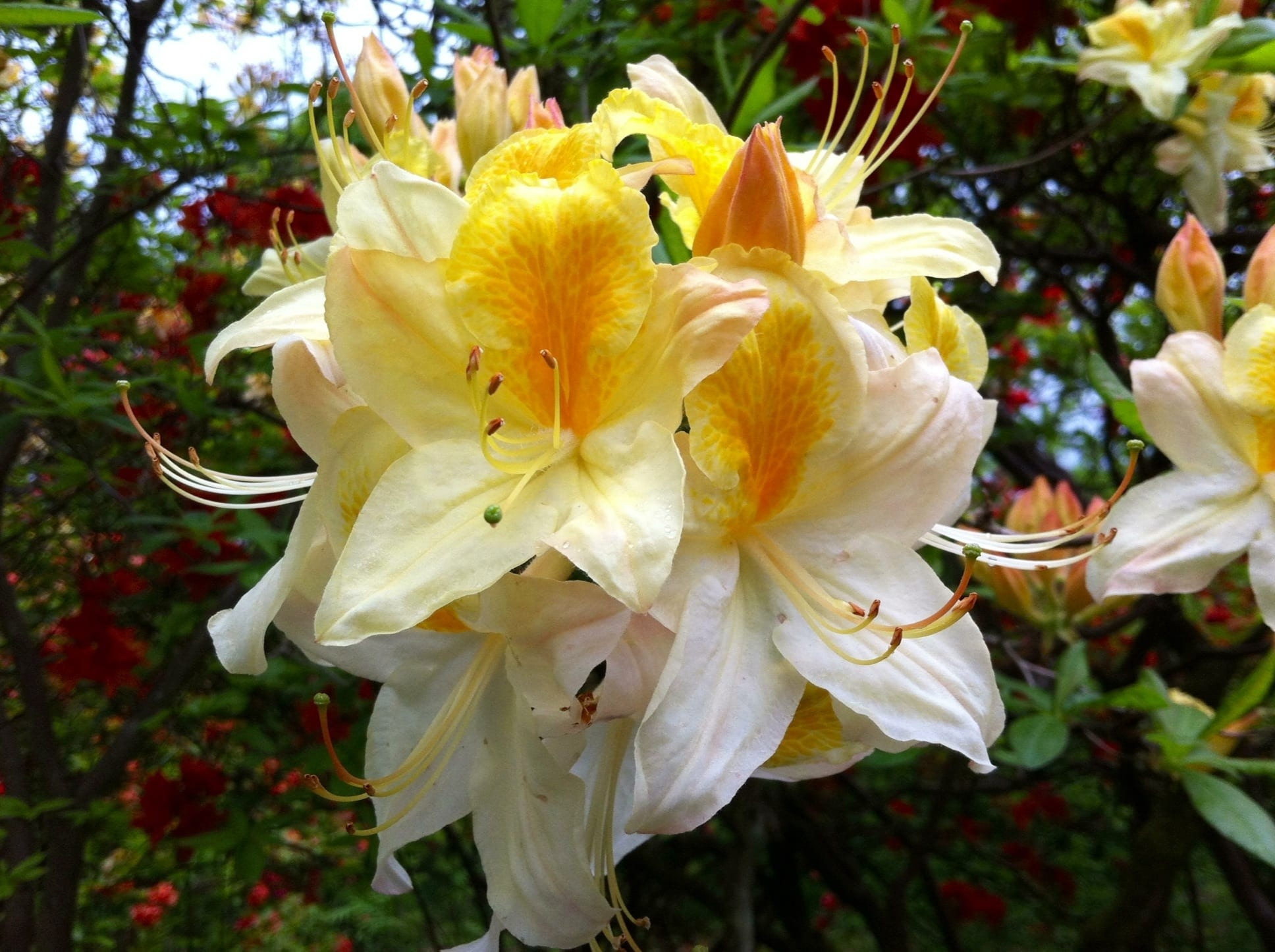 Rhododendron Northen Highlights | Jos Kolster - Boomkwekerij